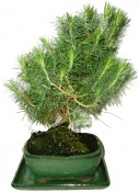 Bonsai Pinus halepensis 232