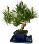 Bonsai Pinus halepensis 485