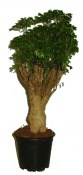 Bonsai Polyscias roble - Stínovka 720