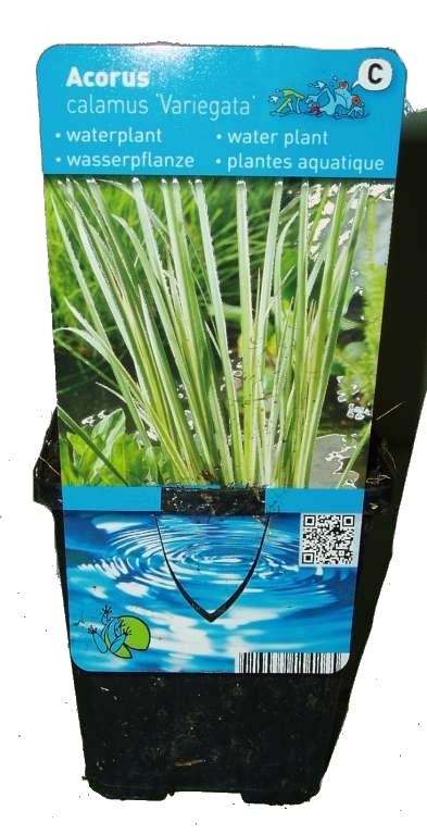 Vodní rostliny - Acorus calamus ''Variegata''