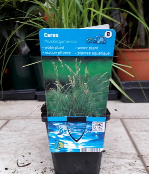 Vodní rostliny - Carex muskingumensis (Ostřice muskingumská)