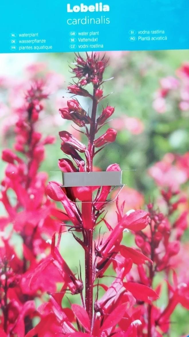 Vodní rostliny - Lobelia cardinalis