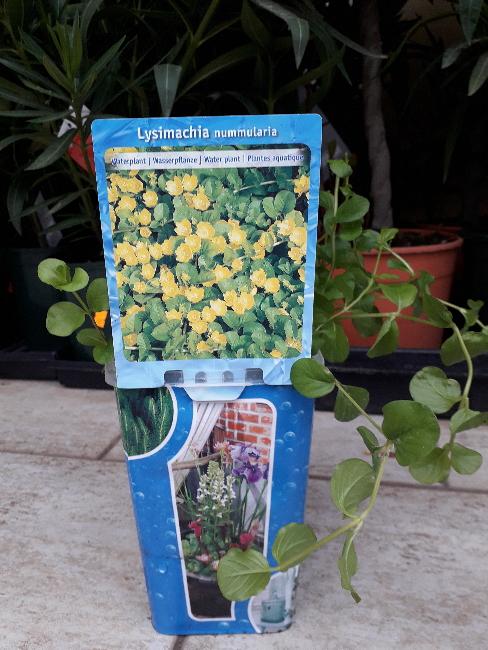 Vodní rostliny - Lysimachia nummularia (Vrbina penízková)