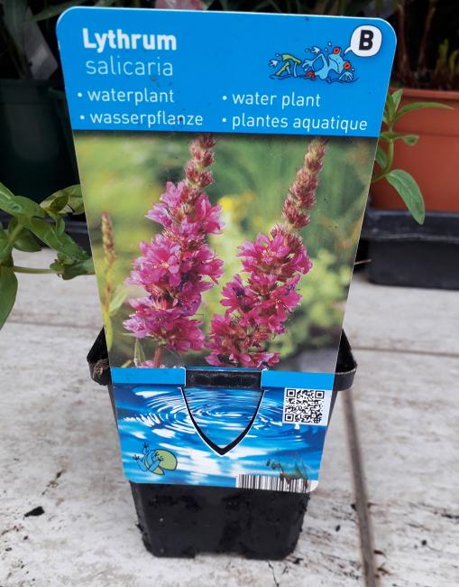 Vodní rostliny - Lythrum salicaria (Keprej vrbice)