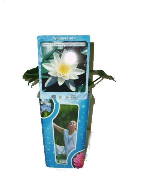 Vodní rostliny - Nymhapea (Leknín bílý)