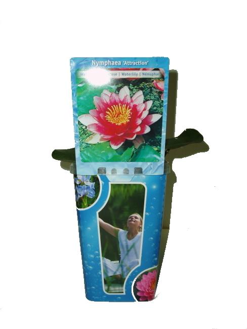 """Vodní rostliny - Nymphaea """"attraction"""" (Leknín) růžovobílý"""