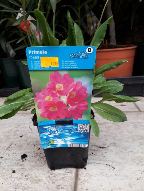 Vodní rostliny - Primula rosea (Petrklíč)