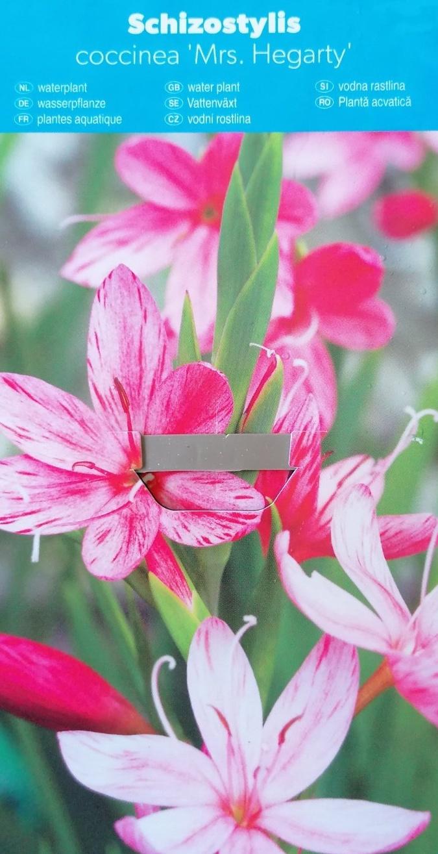 Vodní rostliny - Schizostylus coccinea (Říční lilie)